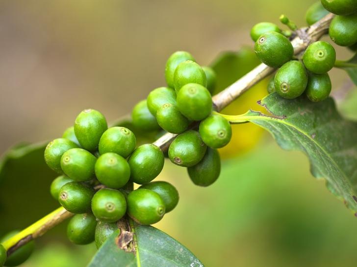 8 Beneficios para la salud de judías verdes de café